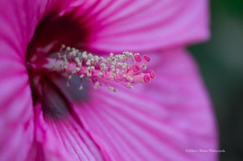 Hibiscus:  Full Frame