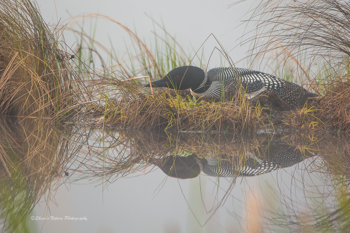 Loon in the Mist....©Sheen's Nature Photography