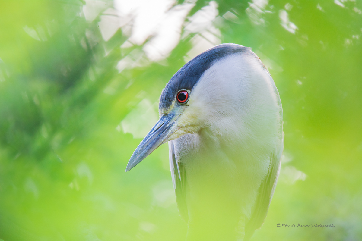 Red eye on you ©Sheen's Nature Photography