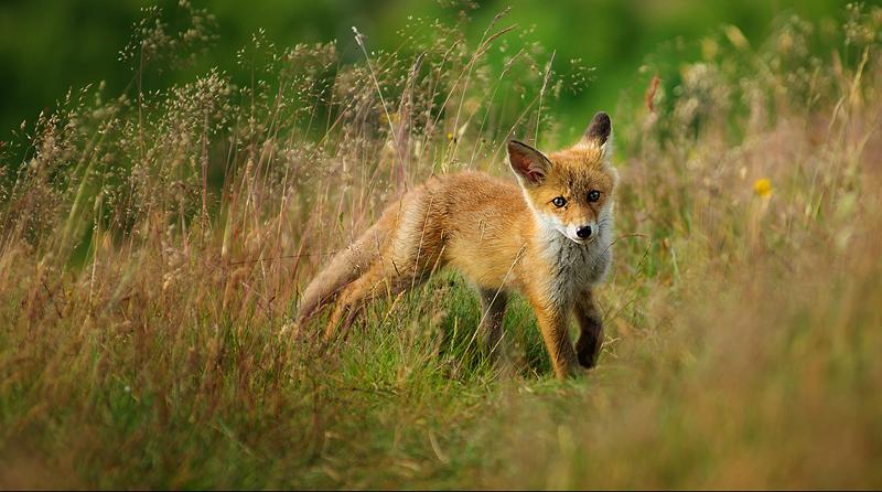 Fox-Puppy