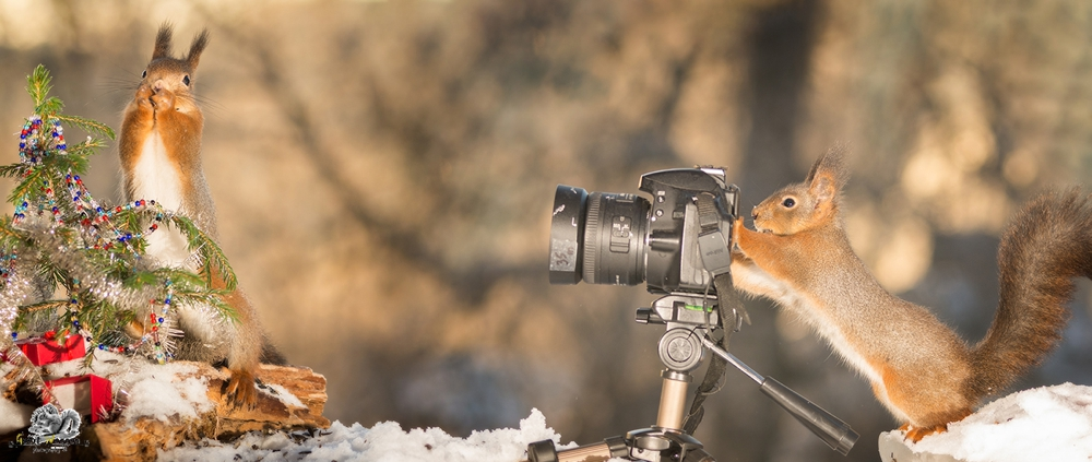 red squirrel with a camera and one with a christmas tree