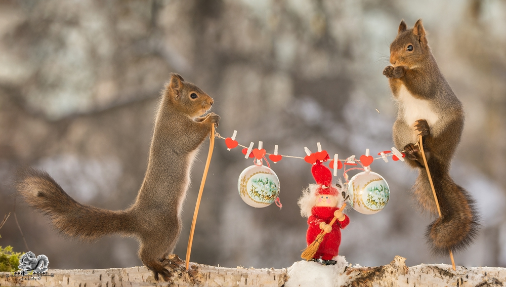 close up of red squirrels standing with poles of a clothesline with christmas objects hanging