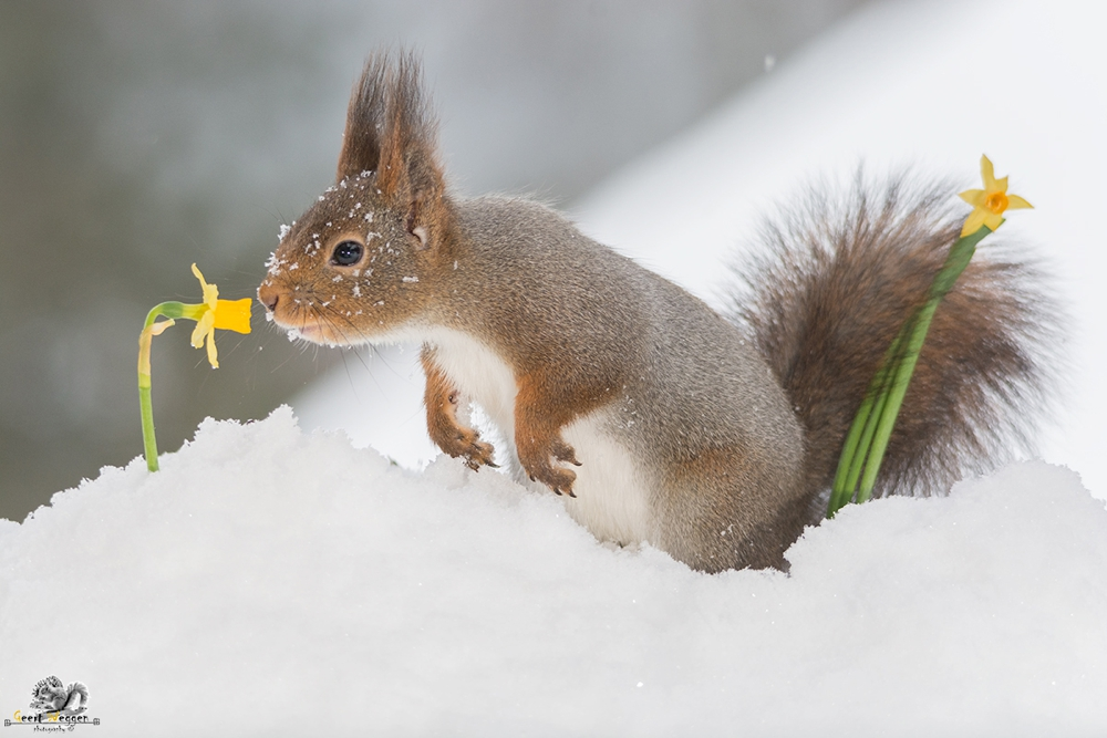 red squirrel in snow with daffodil