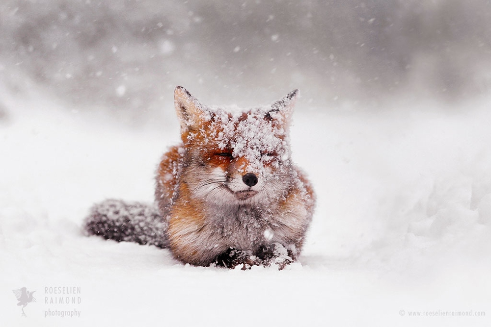 10_red_fox_snowing_white
