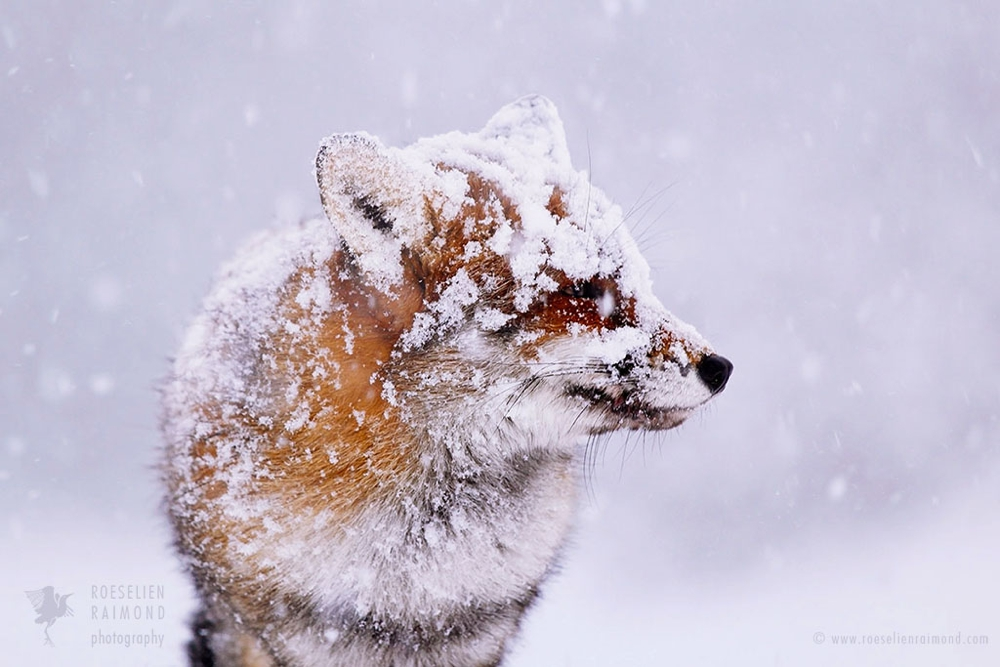 11_red_fox_snowing_face