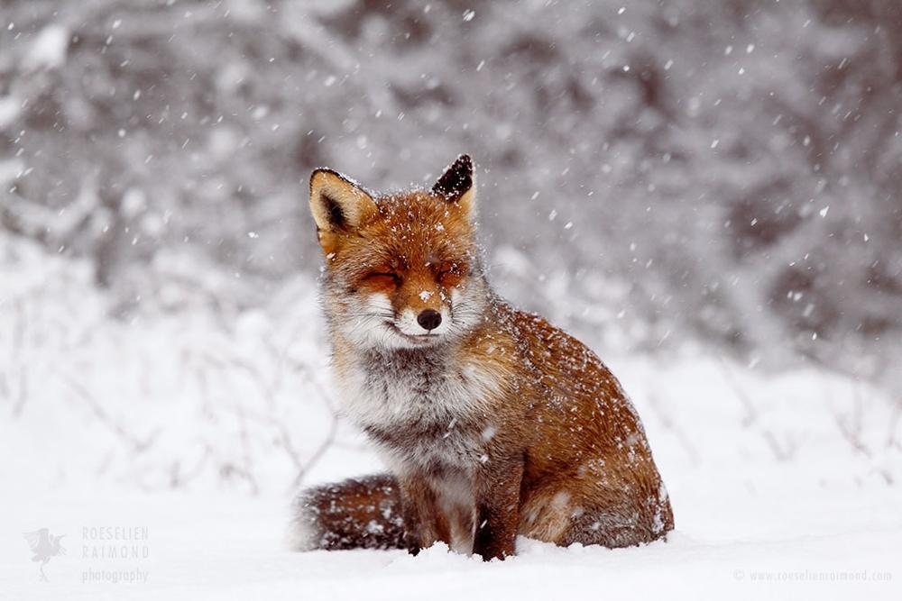 3_red_fox_snow_scene