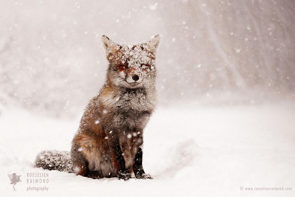 4_-red_fox_snowing