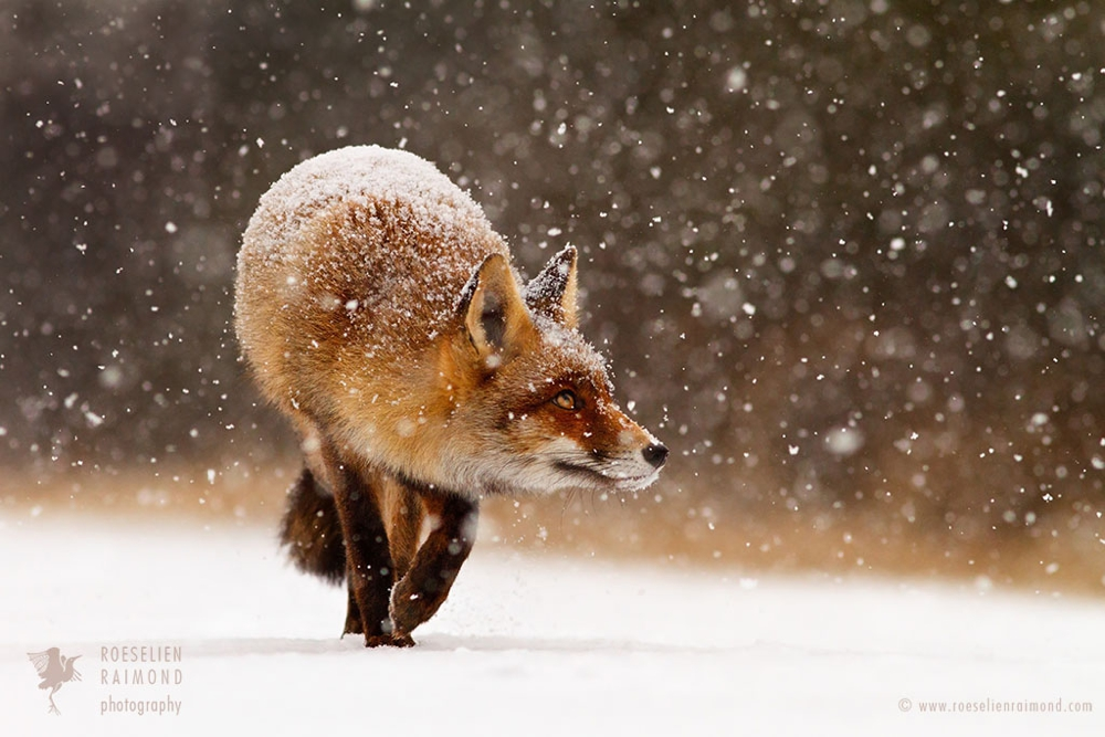 5_red_fox_snow_flakes