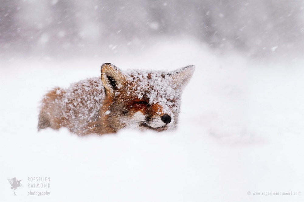 9_red_fox_whiteout