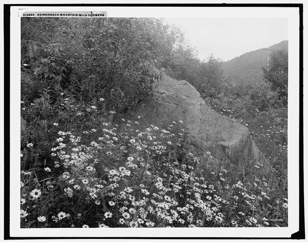 Adirondack mountain wildflowers