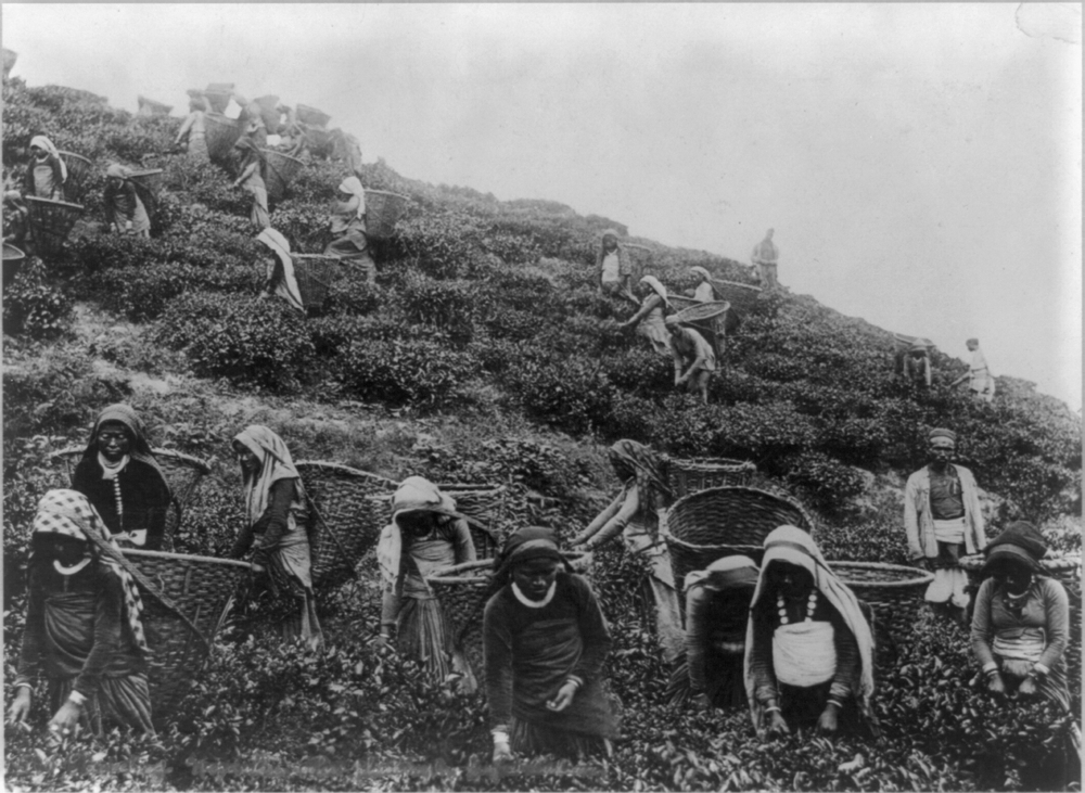 Tea pickers in the Himalayas, India