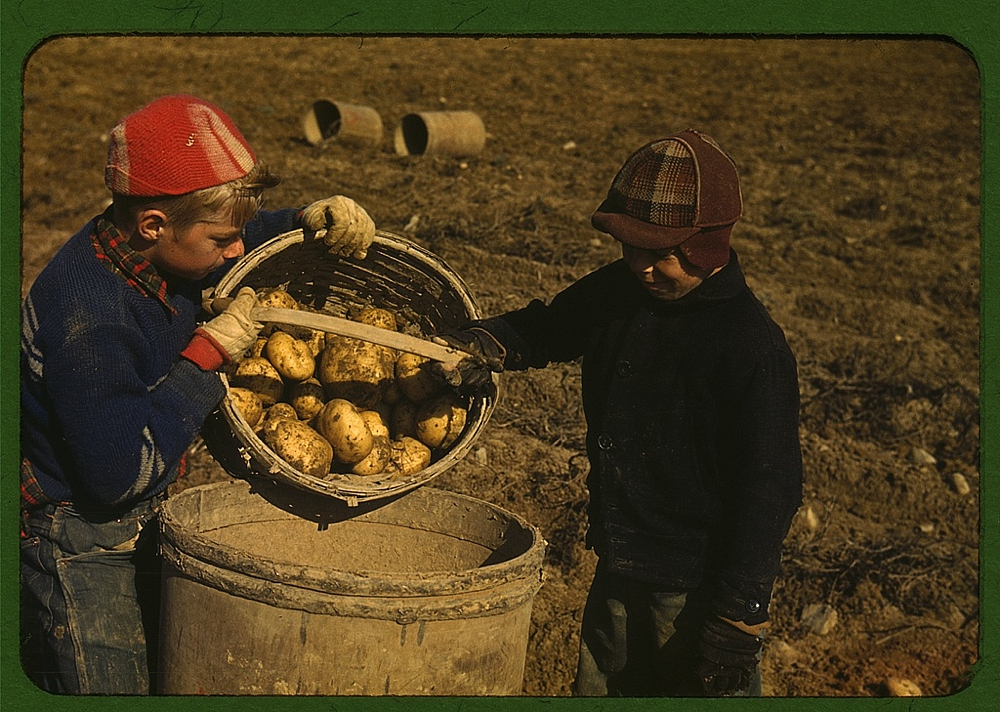 Children gathering potatoes on a large farm