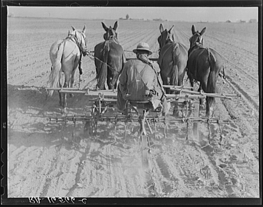 Cultivating beans with a four-row cultivator