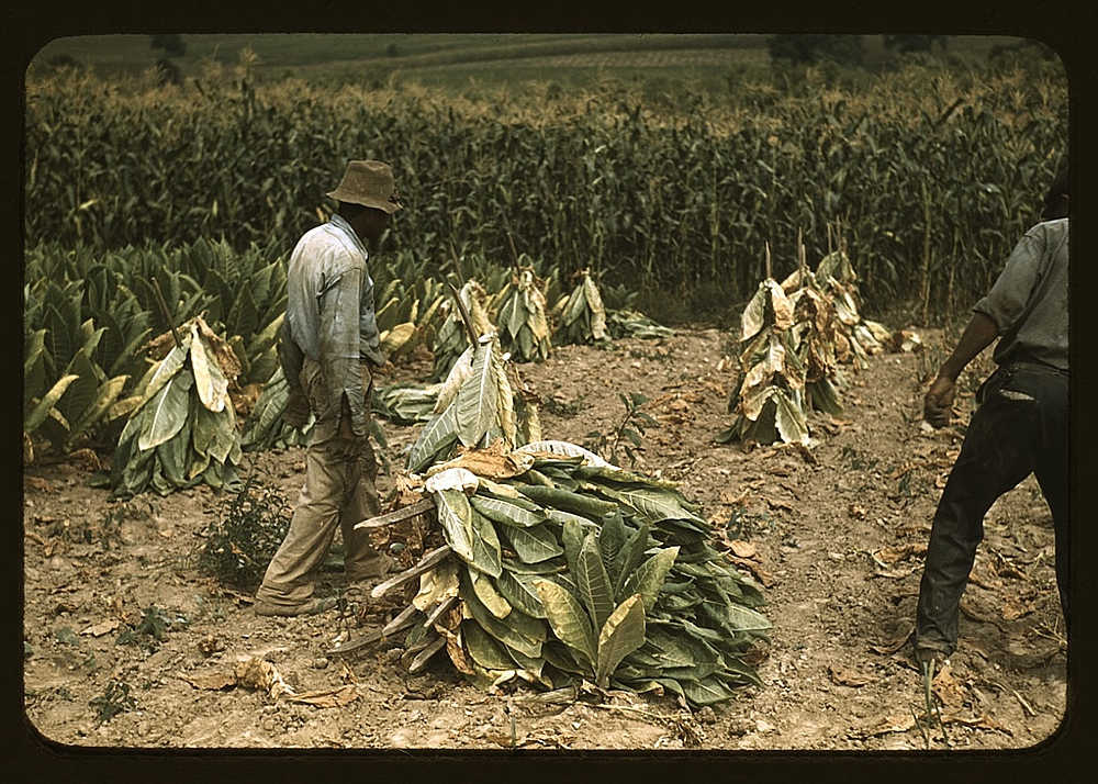 Cutting Burley tobacco and putting it on sticks to wilt before taking it into the curing