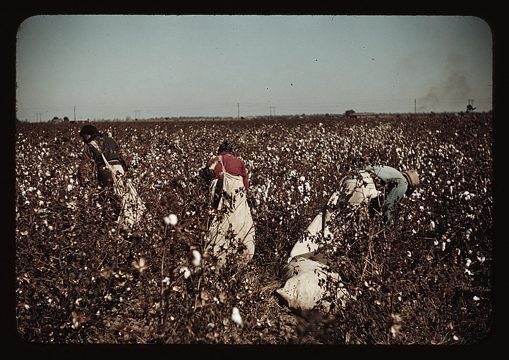 Day-laborers picking cotton near Clarksdale