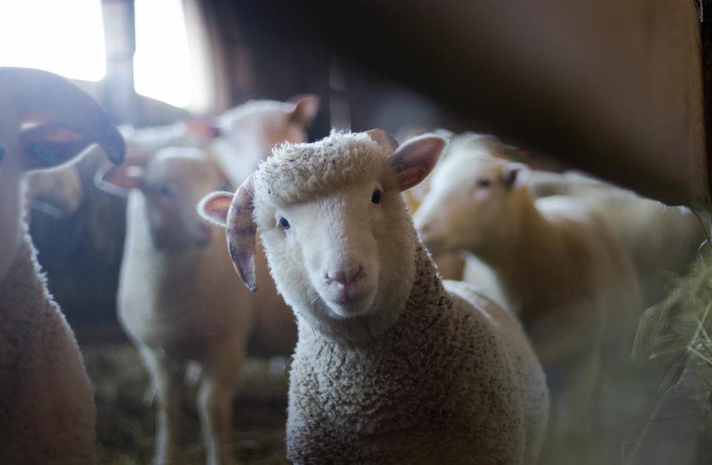 sheep in barn
