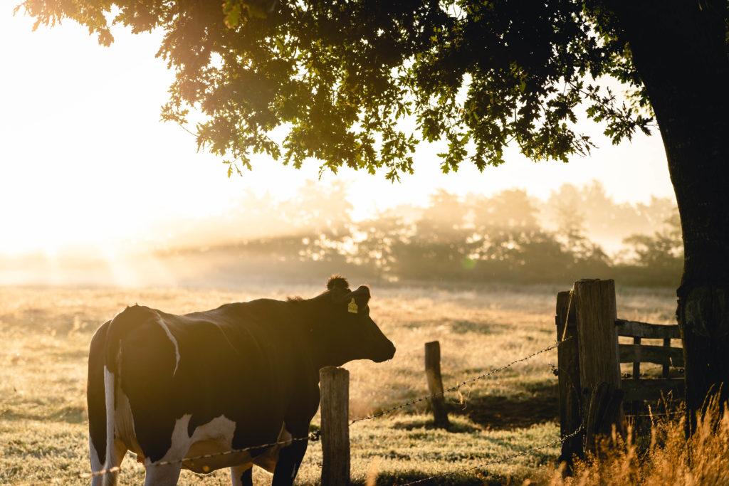 cow on farm